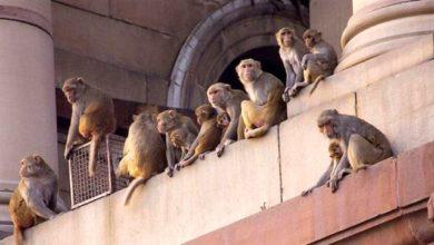 Photo of Denek olarak kullanılan maymunlar, asistana saldırarak koronavirüs kan örneklerini çaldı