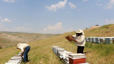 Photo of Kilosu 5 bin lirayı bulunca arıcılar propolis üretimine yöneldi