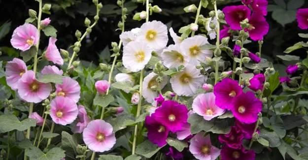 İnsan Sağlığına Faydalı Çiçek! Uzmanlar Tüketilmesini Tavsiye Ediyor